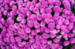 Crisântemo cor-de-rosa Imagens de Stock Royalty Free