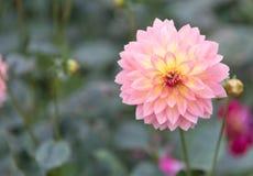 Crisântemo cor-de-rosa Fotografia de Stock Royalty Free