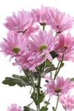 Crisântemo cor-de-rosa. Imagem de Stock