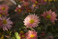 Crisântemo cor-de-rosa bonito como a camomila que floresce no jardim foto de stock royalty free