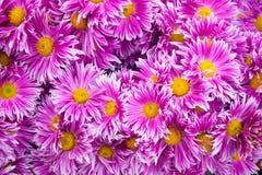 Crisântemo cor-de-rosa bonito como a imagem do fundo Papel de parede do crisântemo, crisântemos no outono Imagens de Stock