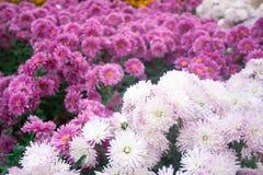 Crisântemo cor-de-rosa bonito como a imagem do fundo Papel de parede do crisântemo, crisântemos no outono Fotos de Stock
