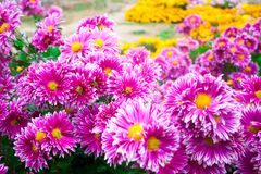 Crisântemo cor-de-rosa bonito como a imagem do fundo Papel de parede do crisântemo, crisântemos no outono Imagem de Stock Royalty Free
