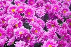 Crisântemo cor-de-rosa bonito como a imagem do fundo Papel de parede do crisântemo, crisântemos no outono Fotos de Stock Royalty Free
