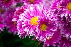 Crisântemo cor-de-rosa bonito como a imagem do fundo Papel de parede do crisântemo, crisântemos no outono Foto de Stock Royalty Free
