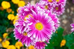 Crisântemo cor-de-rosa bonito como a imagem do fundo Papel de parede do crisântemo, crisântemos no outono Fotografia de Stock Royalty Free