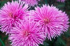 Crisântemo cor-de-rosa bonito como a imagem do fundo Papel de parede do crisântemo, crisântemos no outono Imagens de Stock Royalty Free