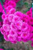 Crisântemo cor-de-rosa bonito como a imagem do fundo Papel de parede do crisântemo, crisântemos no outono Fotografia de Stock