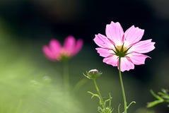 Crisântemo cor-de-rosa do detalhe para o fundo Fotografia de Stock