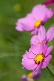 Crisântemo cor-de-rosa do detalhe para o fundo Fotos de Stock
