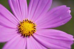 Crisântemo cor-de-rosa do detalhe para o fundo Foto de Stock Royalty Free