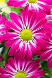 Crisântemo cor-de-rosa em fundos amarelos Fotografia de Stock
