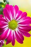 Crisântemo cor-de-rosa em fundos amarelos Fotos de Stock Royalty Free