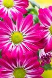 Crisântemo cor-de-rosa em fundos amarelos Foto de Stock