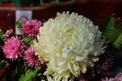 Crisântemo cor-de-rosa lilás bonito como a imagem do fundo Fotografia de Stock Royalty Free