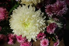 Crisântemo cor-de-rosa lilás bonito como a imagem do fundo Foto de Stock Royalty Free