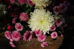 Crisântemo cor-de-rosa lilás bonito como a imagem do fundo Fotos de Stock Royalty Free