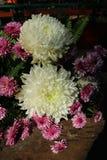 Crisântemo cor-de-rosa lilás bonito como a imagem do fundo Imagens de Stock Royalty Free