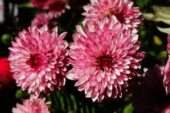Crisântemo cor-de-rosa lilás bonito como a imagem do fundo Fotos de Stock
