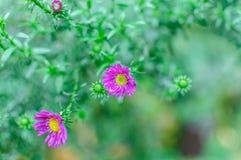 Crisântemo cor-de-rosa lilás bonito como a imagem do fundo Papel de parede do crisântemo, crisântemos Imagens de Stock