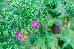 Crisântemo cor-de-rosa lilás bonito como a imagem do fundo Papel de parede do crisântemo, crisântemos Fotografia de Stock
