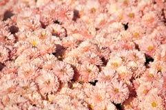 Crisântemo cor-de-rosa no fundo da flor Imagens de Stock Royalty Free