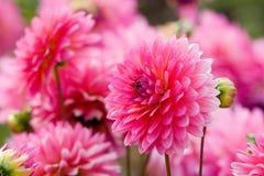 Crisântemo cor-de-rosa no jardim de Tailândia do norte Imagem de Stock Royalty Free