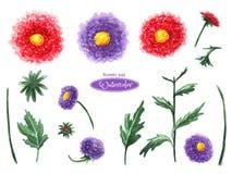 Crisântemo e áster, cabeças de flor, folhas, botões Isolado no fundo branco ilustração do vetor