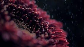 Crisântemo macro do vermelho de vinho da vista lateral nos pulverizadores da água filme