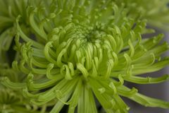 Crisântemo no verde com as pétalas Curvy na opinião do close up Imagem de Stock