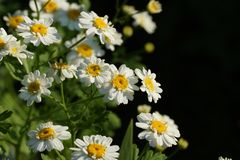 Crisântemo ou Tanacetum do píretro que são cultivados como ornamentals para suas cabeças de flor vistosos imagem de stock