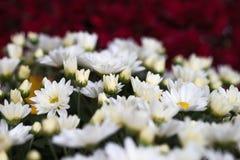 Crisântemo outonal colorido Flores de florescência em um jardim Flores da queda foto de stock royalty free