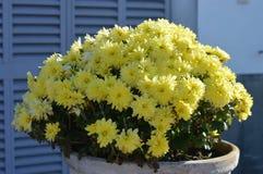 Crisântemo potenciômetro de flor 'amarelo ' fotos de stock royalty free