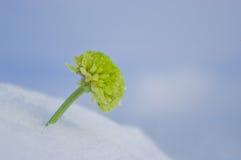 Crisântemo verde Fotografia de Stock Royalty Free