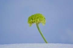 Crisântemo verde Imagens de Stock Royalty Free