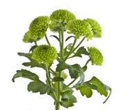 Crisântemo verde Imagem de Stock