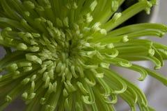 Crisântemo verde com as pétalas Curvy que mostram o detalhe e a cor Fotografia de Stock Royalty Free
