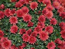 Crisântemo vermelho Fotografia de Stock Royalty Free