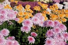 Crisântemo violeta e alaranjado no fundo da flor Fotos de Stock