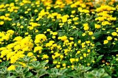Crisântemos amarelos Fotografia de Stock