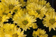 Crisântemos amarelos com pingos de chuva fotografia de stock royalty free