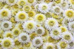 Crisântemos amarelos e brancos Imagem de Stock Royalty Free