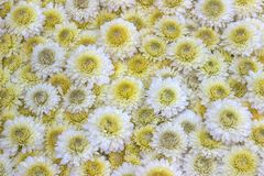 Crisântemos amarelos e brancos Fotos de Stock Royalty Free
