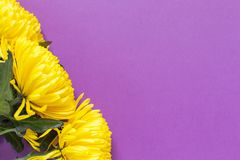 Crisântemos amarelos vibrantes no fundo roxo do açafrão da mola Configuração lisa horizontal Modelo com espaço da cópia para o ca fotografia de stock royalty free
