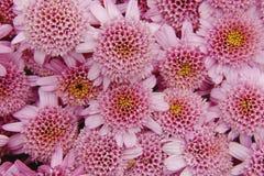 Crisântemos cor-de-rosa Fotografia de Stock