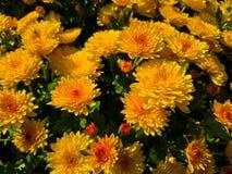Crisântemos de florescência do jardim Imagem de Stock Royalty Free
