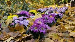 Crisântemos entre as folhas caídas Imagens de Stock Royalty Free