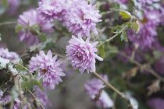 Crisântemos lilás no jardim sob a neve, foco seletivo Fotos de Stock