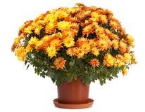 Crisântemos no flowerpot Imagens de Stock Royalty Free