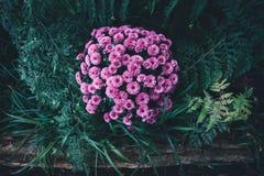 Crisântemos no jardim Fotografia de Stock Royalty Free